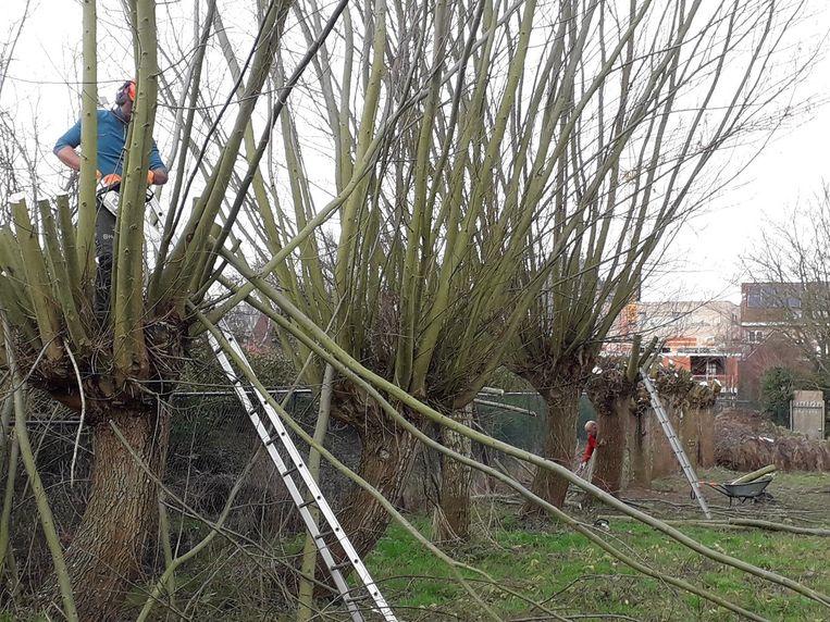 De vrijwilligers van Natuurpunt Rupelstreek gaven de knotbomen in de Oude Netearm in Rumst een groot onderhoud