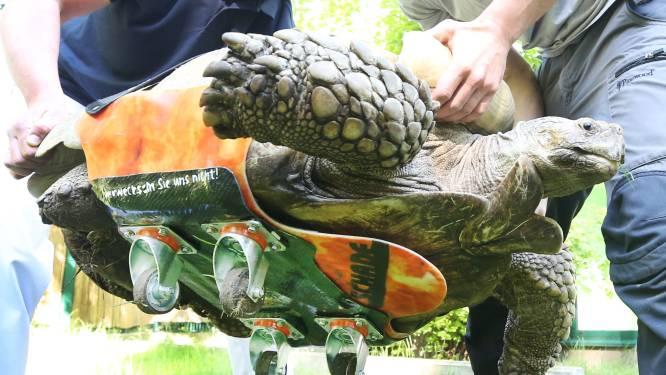 Duitse schildpad van 100 kilo weer mobiel dankzij... skateboard