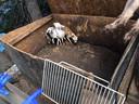 Beeld gemaakt in een beruchte Hongaarse puppyfabriek, de fokteven en pups leven er in erbarmelijke omstandigheden.
