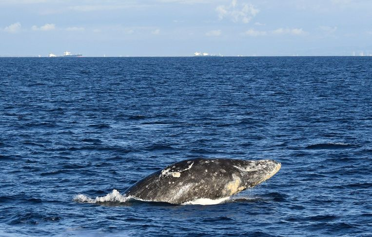 Een grijze walvis, die ooit op het menu stond bij de Vlamingen en de Friezen.   Beeld Getty Images