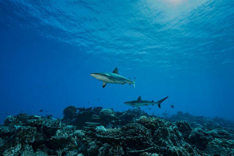 Twee haaien bij het koraalrif van Rikitea in Frans Polynesië.  Beeld Getty Images