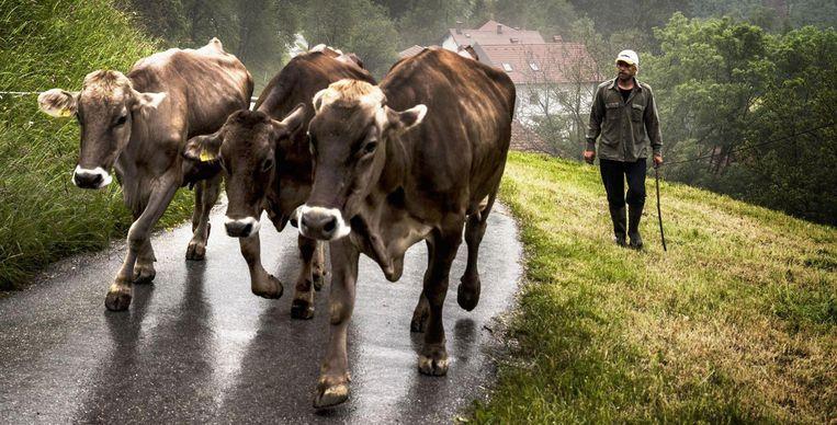 Bioboer Aljoša met zijn koeien in het Sloveense bergdorpje Cadrg. Beeld Aurélie Geurts
