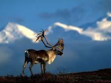Trésors de la faune canadienne: le caribou