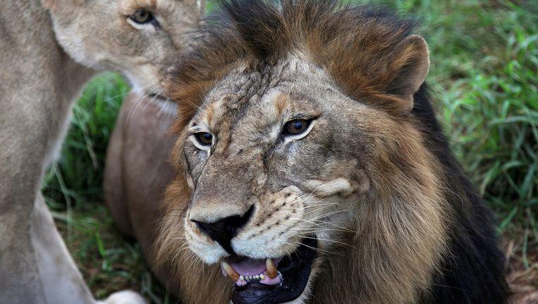 Een leeuw en een leeuwin in India. Beeld anp