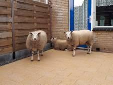 Drie schapen schuilen in achtertuin in Hoek van Holland