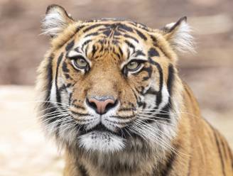 Twee Sumatraanse tijgers in Indonesische zoo herstellen van coronavirus