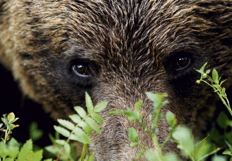 Een beer in Finland.  Beeld