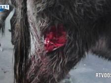 Twee ezels zwaar mishandeld in Overijssel