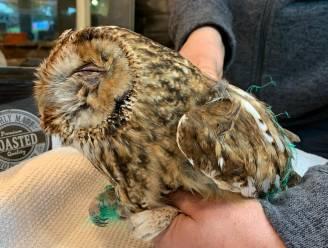 SOS Wilde Dieren bevrijdt bosuil uit afdeknet van kippenren