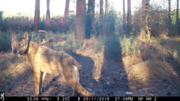 De allicht gedode wolvin Naya in de Limburgse bossen. Ze betrok een leefgebied van zo'n tweehonderd vierkante kilometer in Noord-Limburg. Beeld Natuurpunt