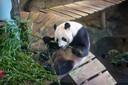 Een van de Rhenense panda's - Xing Ya - in zijn binnenverblijf.