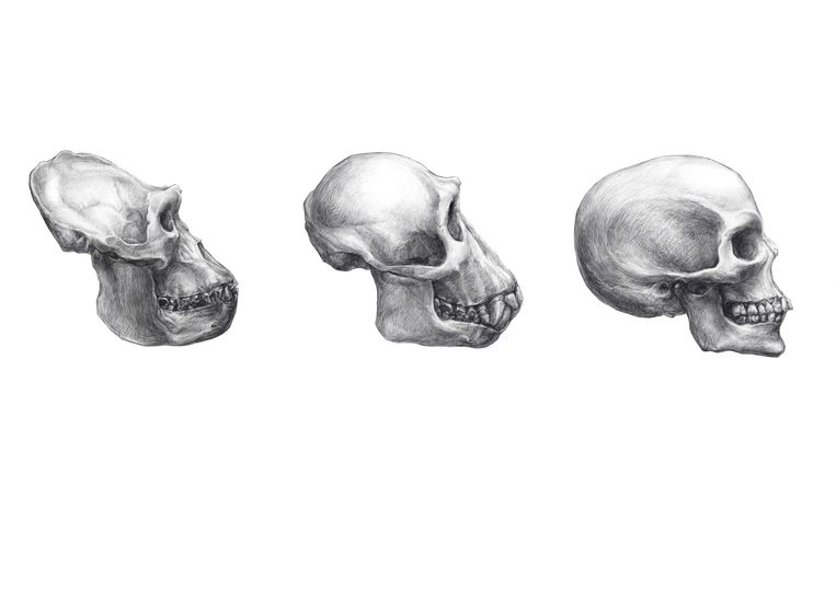 De schedels van een gorilla, een chimpansee en een mens. Beeld Wikimedia Commons