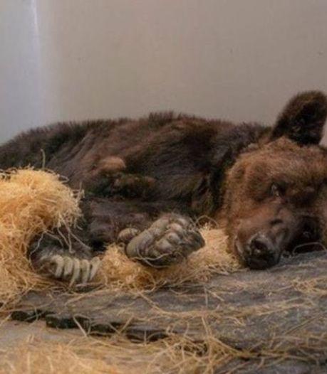 L'ours Mischa, symbole de la souffrance animale, meurt dans le refuge qui l'avait accueilli