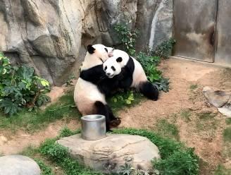 Eindelijk een beetje privacy: reuzenpanda's paren na tien jaar wachten, nu zoo gesloten is door coronavirus