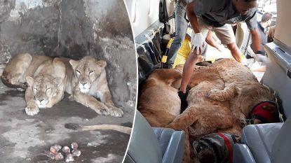 Circusleeuwen gered uit zoo in Oekraïne waar ze in vieze kooi rondjes draaiden. Ze krijgen nieuw leven in Afrika