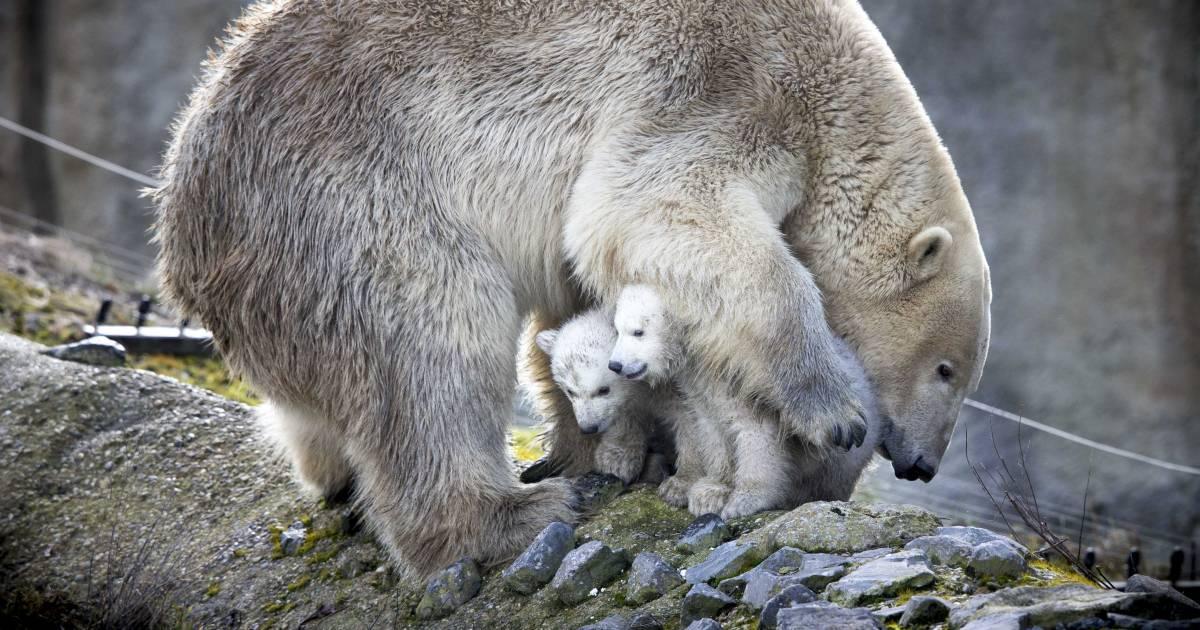 Blijdorp in rouw: 20 kilo zware tumor wordt ijsbeer Olinka fataal - De Stentor