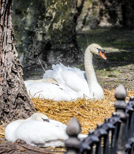 Brugse zwanen bouwen aan nest, nog geen week nadat ze weer vrij mogen rondzwemmen