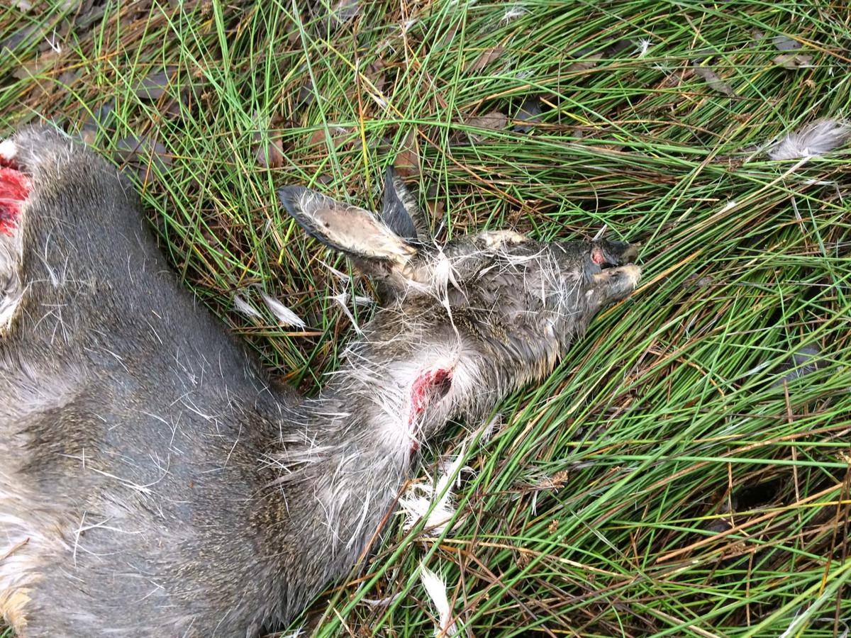 De dode ree die mogelijk is aangevallen door een wolf in Duizel.