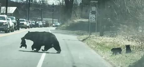 Une maman ours fait traverser ses oursons
