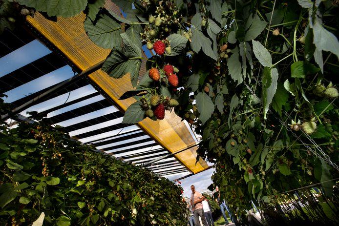 Astense raadsleden gingen op excursie naar een proefopstelling van fruitteelt in combinatie met zonnepanelen in Lierop.