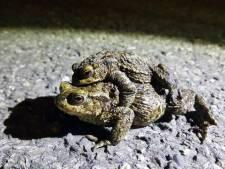 Vrees voor platgereden padden die gaan paren: avondklok gooit roet in eten