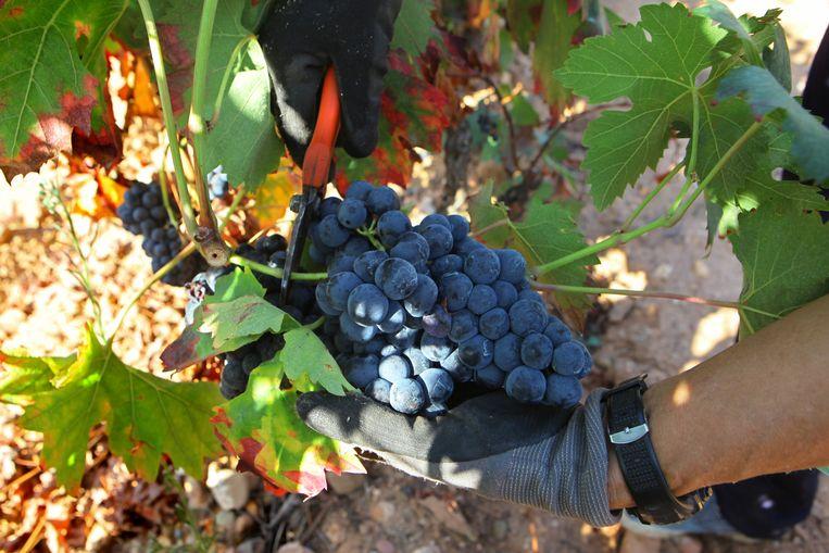 Een tros Spaanse Tempranillo-druiven