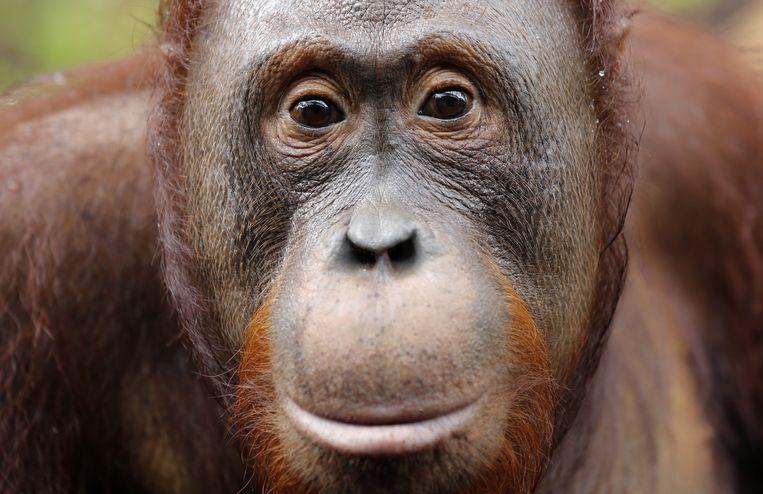 Een mannelijke orang-oetan in het Tanjung Puting National Park in Kalimantan op het Indonesische eiland Borneo. Orang-oetans zijn een beschermde diersoort. Hun leefgebied wordt verwoest door de aanleg van palmolieplantages. Ook lopen ze gevaar door mijnbouw en bosbranden.  Beeld EPA