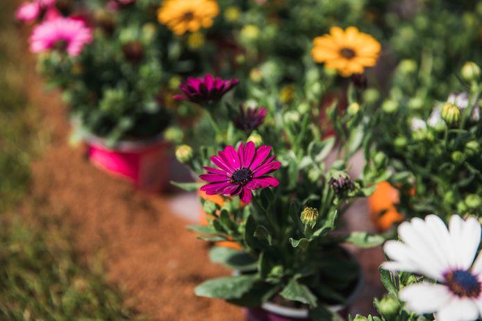 De bloemetjes worden gratis uitgedeeld aan vrijwilligers, moeders en handelaars.