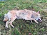 Dode wolf gevonden in Kloosterhaar: 'Hij was zó groot, en die tanden!'