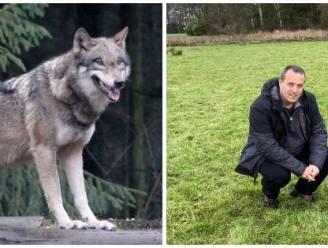 Wolf zwerft door Antwerpse Kempen, nieuwe sporen in Limburg