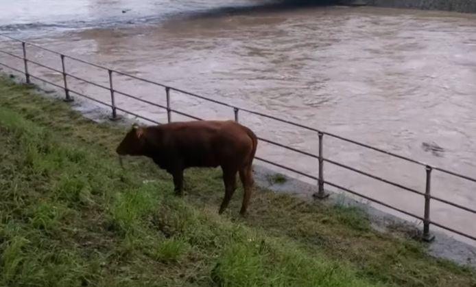 La vache égarée sur une rive de l'Ourthe