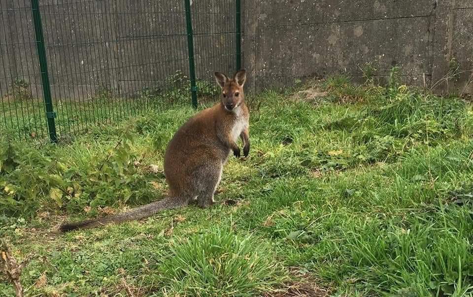 Sam, de wallaby van zorgboerderij 't Frambozenhof in Liedekerke.