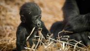 Té schattige beelden: babygorilla Thandie zet eerste stapjes in Antwerpse Zoo