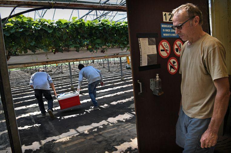 Aardbeienkweker D'Hollander (rechts) laat onderzoekers van de grond en aardbeien zijn bedrijf binnen.  Beeld Marcel van den Bergh