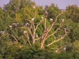 Bijzonder tafereel: tientallen ooievaars in boom in twente