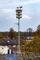 Voorlopig zullen de ooievaars nog wel even vertoeven op de luchtalarmmast in Raalte.