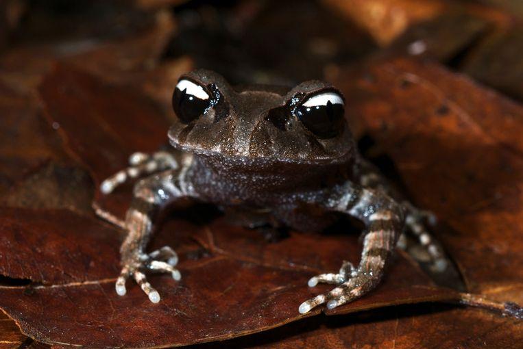 De Leptobrachium leucops werd ontdekt in het Bidoup-Nui Ba National Park in het zuiden van Vietnam. De kikker is tussen de 3,8 en 4,5 centimeter groot en leeft enkel in gebieden tussen de 1558 en 1900 meter boven zeeniveau. Beeld Jodi J. L. Rowley / Australian Museum