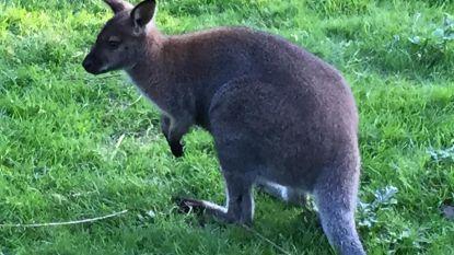 Kangoeroes huppelen rond in Vurste