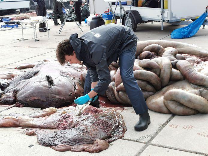 Een van de mensen van de universiteit van Utrecht neemt monsters van de nier van de vinvis.