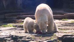 IJsberen genieten van speciale paasmaaltijd in Duitse zoo