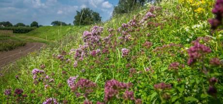 Bloem- en kruidenrijke dijken: niet alleen mooi en goed voor insecten maar ook nog eens sterker