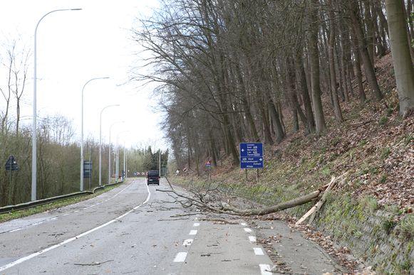 AARSCHOT-stormschade-omgewaaide boom diestsestraat