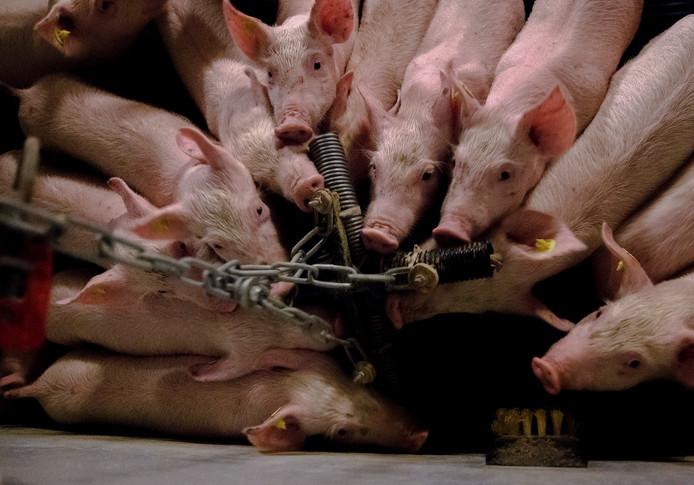 Varkens knagen in hun stal aan plastic buizen aan een ketting.