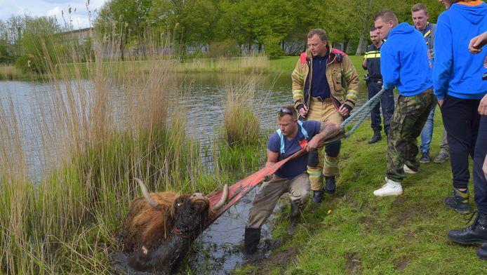 De Schotse Hooglander zat vast in de modder en kon niet op eigen kracht op het droge komen