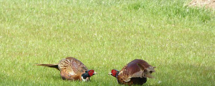 Eerst dreigen, bij de confrontatie van de twee fazantenmannen.