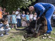 Veel publiek bij schapen scheren op Landgoed Twickel