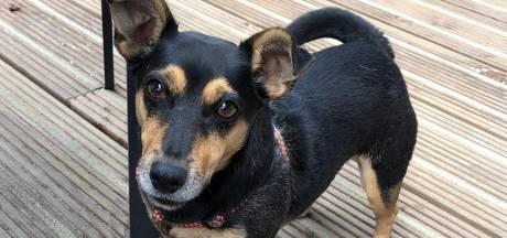 Hondeneigenaren in Twello schrikken van mogelijk vergiftigd vlees