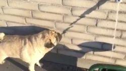 VIRAL: Dit hondje is nogal verward door de hitte