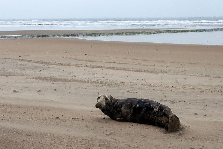 Deze zeehond was even op het strand van Westende te zien.
