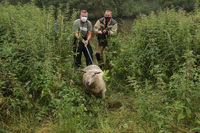 De brandweer bracht de onfortuinlijke schapen terug aan wal.